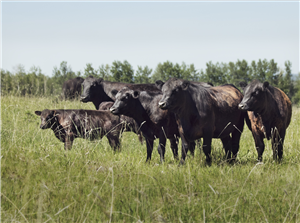 Group of Cattle