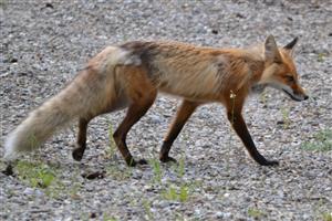Fox at Hummingbird