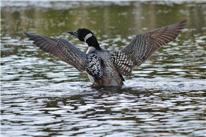 Loon at the Beaver Pond