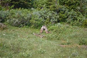 Dancing Marmots