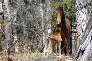 Horses - Cartier Creek