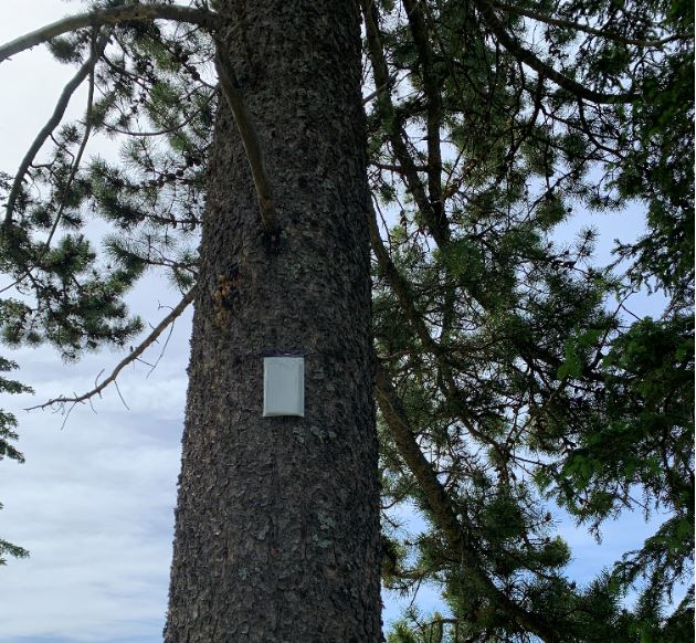 Verbenone Pouch deployed on mature pine in county cemetery.